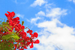 Beautiful red flowers blooming on blue sky Royalty Free Stock Image
