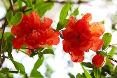 Beautiful Red Flowers Blooming Pomegranate Royalty Free Stock Images