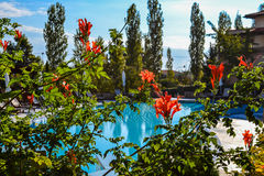 Beautiful red flowers blossomed in the bushes with a swimming pool in the background Royalty Free Stock Image