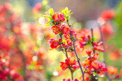 Beautiful red flowers of blossoming Flowering Quince in sunny sp Stock Photos