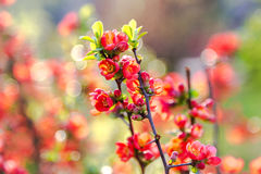 Beautiful red flowers of blossoming Flowering Quince in sunny sp Stock Image