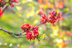 Beautiful red flowers of blossoming Flowering Quince in sunny sp Royalty Free Stock Images