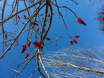 Beautiful red flowers, blue sky as background. And dead tree Stock Photography