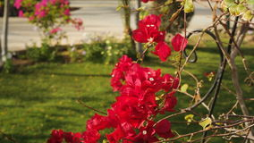 Beautiful red flowers bougainvillea in a tropical garden close up stock video