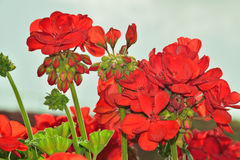 Beautiful red  flowers with buds Stock Image
