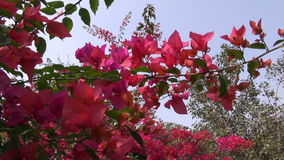 Beautiful red flowers on bush  in India Royalty Free Stock Image