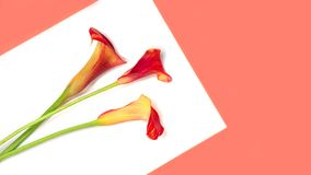 Beautiful red flowers calla lily on trendy coral color year on white background, isolated. Main trend concept. Minimal abstract art. Flat lay, top view stock photography