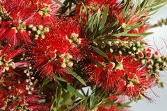 Beautiful red flowers Callistemon closeup. Horizontal Royalty Free Stock Photography