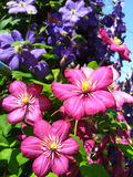 Beautiful red flowers of clematis. Some beautiful red and big flowers of clematis Stock Images
