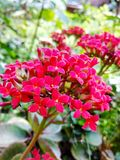 Beautiful red flowers Royalty Free Stock Photos