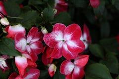Beautiful red flowers. Beautiful red flowers in the garden. Beautiful red flowers in the garden stock image