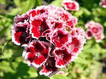 Beautiful red flowers in garden, Lithuania Stock Images