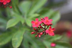 Beautiful red flowers of Jatropha Royalty Free Stock Image