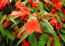 Beautiful red flowers and leafs in park, Lithuania royalty free stock photo