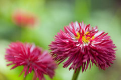 Beautiful red flowers in the nature Royalty Free Stock Image