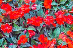 Free Beautiful Red Flowers Of Busy Lizzie (Impatiens Walleriana) On The Flowerbed Background. Impatiens Walleriana Or Impatiens Sultani Royalty Free Stock Photos - 124378718