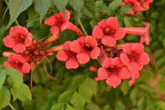 Free Beautiful Red Flowers Of The Trumpet Vine Or Trumpet Creeper Campsis Radicans. Campsis Flamenco Bright Orange Flowers Stock Image - 191768111