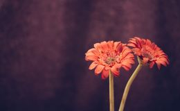Beautiful red flowers on purple bacground stock photography