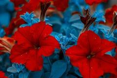 Beautiful red flowers. Red petunia bush. Horizontal summer flowers art background. Flowerbackground, gardenflowers. royalty free stock photography