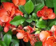 Beautiful red flowers of shrub Chaenomeles Japonica, close up. Beautiful red flowers of shrub Chaenomeles Japonica, close up stock photo