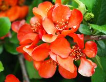 Beautiful red flowers of shrub Chaenomeles Japonica, close up. Beautiful red flowers of shrub Chaenomeles Japonica, close up stock photography