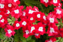 Beautiful red flowers at summer garden Royalty Free Stock Photos