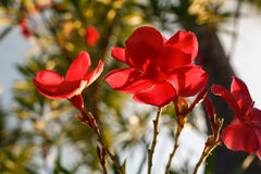 Red flowers background in Surat Thani Thailand. Beautiful red flowers in Surat Thani Thailand royalty free stock image