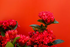 Red flowers background red in Surat Thani Thailand Royalty Free Stock Photos