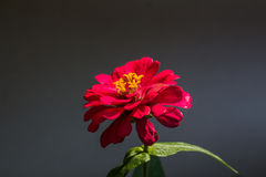 Beautiful red flowers  in Surat Thani Thailand. Beautiful red flowers Zinnia violacea in Surat Thani Thailand Stock Image