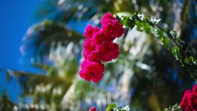 Beautiful red flowers swaying in the breeze. Blue sky and palm trees in the background. Summer vacation concept. stock footage