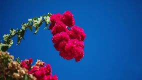 Beautiful red flowers swaying in the breeze. Blue sky and palm trees in the background. Summer vacation concept. Beautiful red flowers swaying in the breeze stock video footage