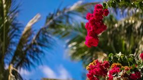 Beautiful red flowers swaying in the breeze. Blue sky and palm trees in the background. Summer vacation concept. stock video