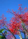 Beautiful red flowers tree. Stock Photos