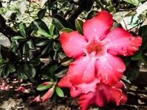 Blooming red adenium flowers having water droplets on the petals. Red flower flowers water droplets l ls garden summer spring rain leaves mood decoration stock images