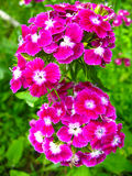Beautiful red flowers of wild carnation Stock Photo