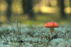 Beautiful red fly agaric. On sunny background with low DOF royalty free stock photography