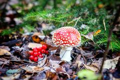 Beautiful red fly agaric in the autumn forest, close-up Royalty Free Stock Photos