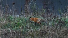 Beautiful Red Fox Hunting for prey stock video