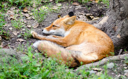 Beautiful red fox resting on the tree roots. Selective focus Royalty Free Stock Photos