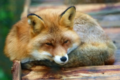 Beautiful red Fox in rural zoo. Rests on a wooden platform. Cunning black eyes, black whiskers and nose, white cheeks Royalty Free Stock Photos