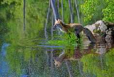 Beautiful Red Fox showing his water reflection. Stock Photos