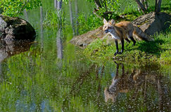 Beautiful Red Fox showing his water reflection. royalty free stock photo