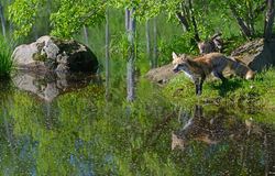 Beautiful Red Fox showing water reflection. stock photography