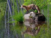 Beautiful Red Fox showing water reflection. Royalty Free Stock Photography