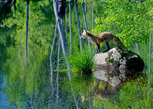 Beautiful Red Fox showing water reflection. Stock Images