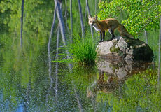 Beautiful Red Fox showing water reflection. Royalty Free Stock Images