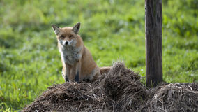 Beautiful Red Fox is sitting on a haystack Royalty Free Stock Photos