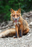 Beautiful red fox sitting on the rocks Stock Images