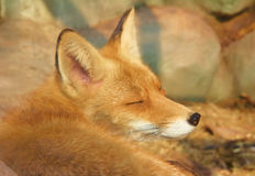 Beautiful red fox sleeping. Close up portrait of beautiful red fox sleeping stock photography