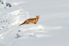 Beautiful red fox in snow Royalty Free Stock Photography